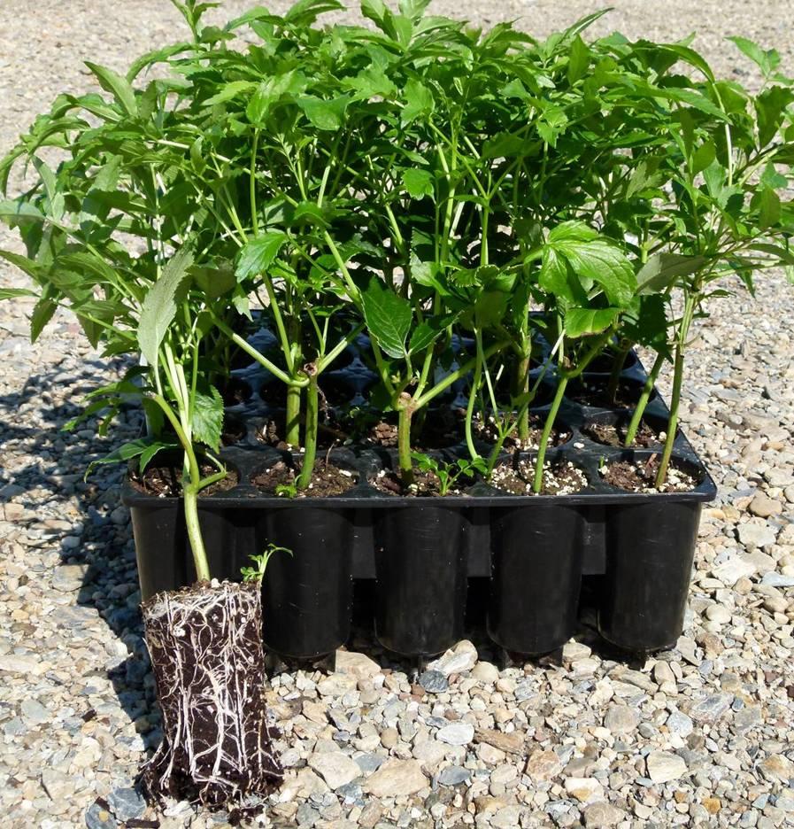 Producteur de baies et fleurs de sureau transformateur de jus de baies de sureau - Plant de rhubarbe a vendre ...
